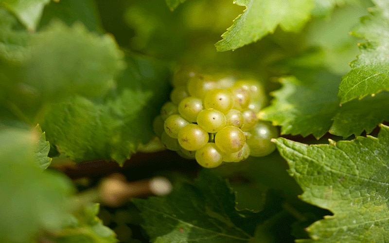 Grape in the vineyard
